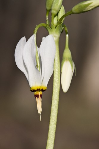 Dodecatheon meadia #8