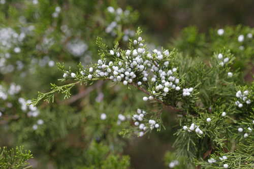 Juniperus virginiana #6