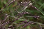 Small carpgrass
