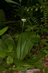Speckled wood-lily <BR>White clintonia