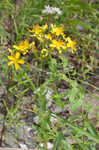 False spotted St. Johnswort