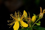 Mountain St. Johnswort