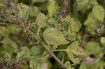 Tropical bushmint