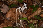 Oneflowered broomrape