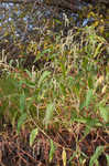 Curlytop knotweed