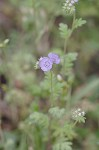 Spotted phacelia
