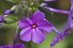 Smooth phlox