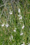 Narrowleaf false dragonhead