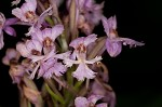 Small purple fringed orchid <BR>Lesser purple fringed orchid