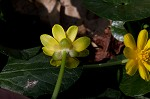 Fig buttercup