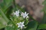 Florida pusley <BR>Rough Mexican clover