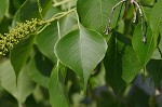 Tallowtree <BR>Chinese tallow tree