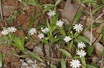 Giant chickweed